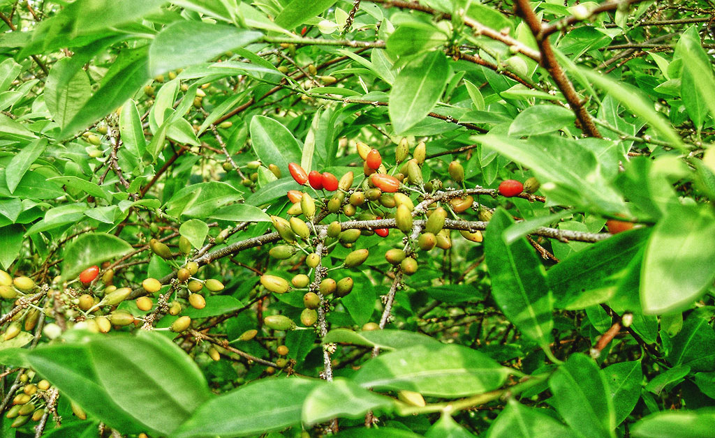 the origin and medicinal use of erythroxylon coca Definition of coca in english: coca  'cocaine is derived from the leaves of erythroxylon coca, a shrub native to south america'  what is the origin of.